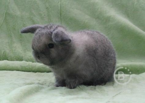 Карликовые крольчата (вислоухий баран minilop)