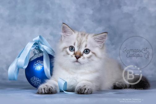 Сибирские котята питомник