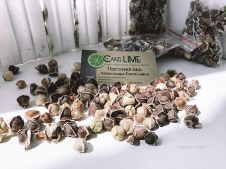 Семена моринги Продукт из Африки