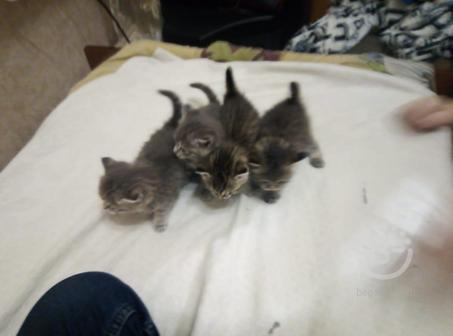 Отдам бесплатно четырех котят