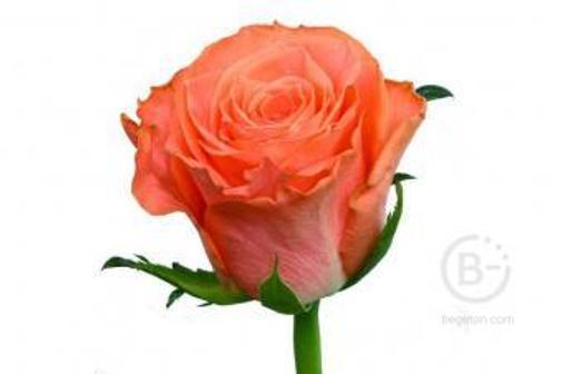 Роза Amsterdam
