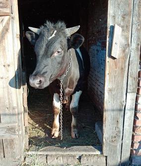 Продам годовалого быка