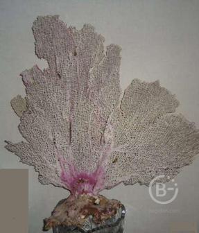 Уникальный натуральный морской коралл