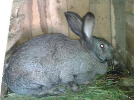 Самки кролика