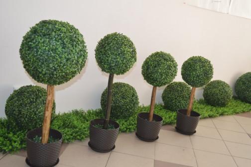Декоративная дерево самшита