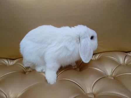 продается декоративный кролик. (вислоухий баран)