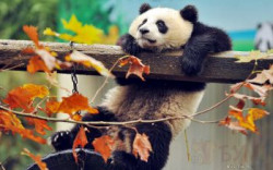"Картина по номерам Paintboy ""Игры панды"", - 30%"