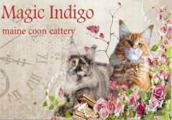 Magic Indigo, питомник мейн-кунов
