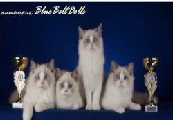BlueBellDoolls, питомник кошек породы Ragdoll