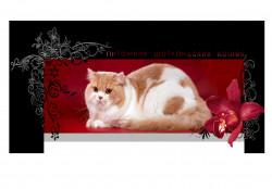 Alliance de Charm, питомник шотландских кошек