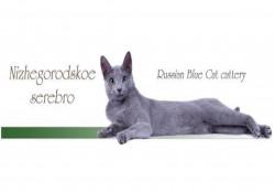 Нижегородское серебро, питомник кошек