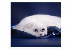 Kalani, питомник шотландских кошек