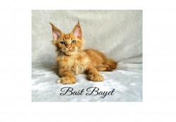Bast Bayet, питомник кошек мейн-кун