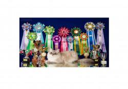 NEVASTAR, питомник сибирских невских маскарадных кошек