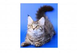 MONTANA CLUB, питомник кошек породы мейн-кун