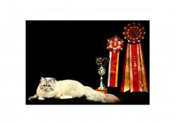 Легенда Байкала, питомник Невских Маскарадных кошек