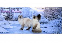 Sunny Valley, питомник  Сибирских и Невских маскарадных кошек