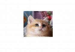Dolly Star, питомник британских и шотландских  кошек