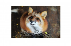Fox Family, центр декоративного лисоводства
