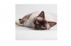 Мелодия Востока, питомник тайских кошек
