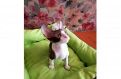 Арискудр, питомник кошек