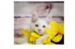 Brabus Life, питомник кошек породы мейн-кун