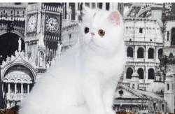 Питомник Персидских и Экзотических кошек