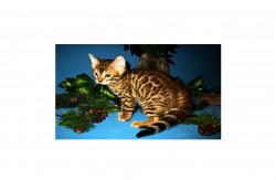 Saguncat, питомник бенгальских кошек