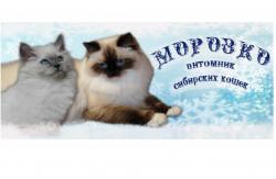 МОРОЗКО, питомник сибирских кошек