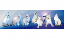 Ненаглядная Красота, питомник невских маскарадных кошек