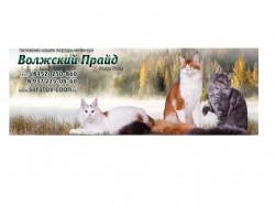 Волжский прайд, питомник кошек породы мейн – кун