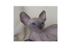 MilaGloria, питомник кошек породы корниш-рекс