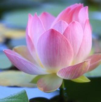 Cleaning Lotus