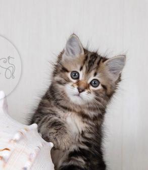 Сибирские котята из питомника с документами